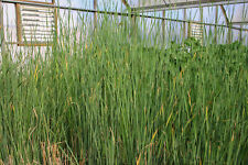 Live Graceful Cattail Cold Hardy Aquatic Marginal Pond Plant