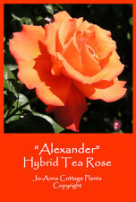 ALEXANDER HYBRID TEA ROSE SCENTED CONTINUAL FLOWERING BARE ROOTE ** 4 FOR 3 **