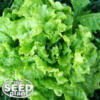 Black Seeded Simpson Lettuce Seeds -500 SEEDS-SAME DAY SHIPPING