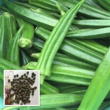 100 PCS Okra Seeds Abelmoschus Moschatus Seed Organic Vegetable Green Okra