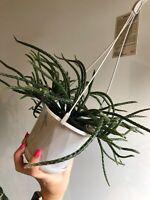 Rhipsalis horrida - Mistletoe Cactus   Houseplant