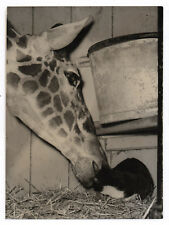 PHOTO DE PRESSE Zoo Londres London Giraffe Cat Chat 1954 Curiosité Drôle Girafe