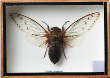 Real Exotic Cicada Clear Wings - Taxidermy Collection  in Wooden Box