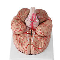 Professional New Dissection Medical Teaching Model 1:1 Human Anatomical Brain
