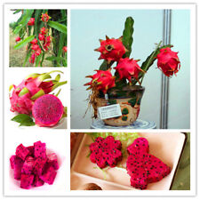 Red Flesh Dragon Fruit Seeds Nutrition Delicious Fruit Seed Red Dragon Fruit Red