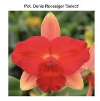 """Potinara Denis Roessiger 4"""" Pot (15) 6931"""