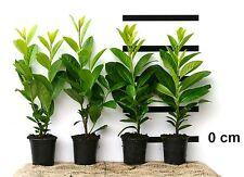70 Stk. Kirschlorbeer Novita - immergüne, winterharte Heckenpflanze - Hecke