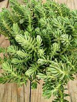 """SEDUM REFLEXUM  """" Blue Spurce """" 3 x Stem Cuttings Esquejes Succulent plant"""
