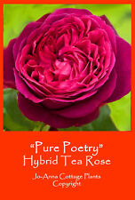 PURE POETRY HT ROSE RED PURPLE SCENTED REPEAT FLOWER BARE ROOT ** BUY 4 FOR 3 **