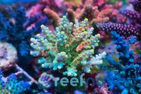 WWC King Fiji Coral Frag sps Reefnation