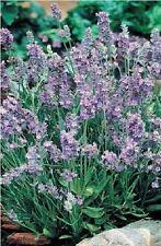 Flower - Lavender - Ellagance - Sky - 60 Seed - Large Pack