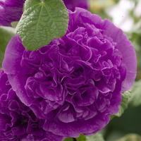 30+ HOLLYHOCK VIOLET CHATERS DOUBLE  / ALCEA ROSEA / 6 FT PERENNIAL FLOWER SEEDS