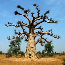 10 BAOBAB Tree -ADANSONIA DIGITATA- FANTASTIC TREE Fresh New Season Seeds Bonsai