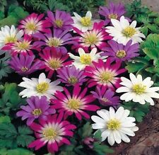 ANEMONE BLANDA MIXED 20 BULBS SPRING & SUMMER FLOWERING READY TO DISPATCH FP&P