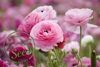 Seeds Pink Ranunculus Buttercup Flowers Garden Home Perennial Plants 100 Pcs