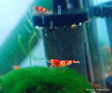 Red Tiger Bee Shrimp, Freshwater Shrimp, Inverts For Freshwater Aquarium
