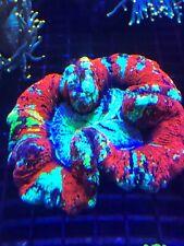 Rainbow Wellso WYSIWYG Live Coral Frag - Pop Corals Candy Shop