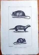 Rat, Mouse, Grison 1830s French Animal Print - La Souris