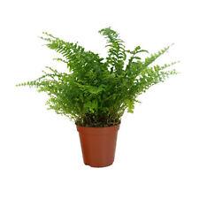 Plante Nephrolepis exaltata pot Ø6cm (fougère de boston, mur végétal intérieur)