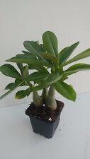 3 Desert rose plants Adenium obesum blooms maroon & black, & Free Bonus seeds!
