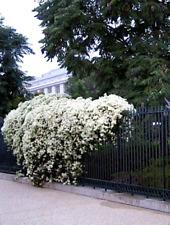 "Clematis Sweet Autumn Vine Fragrant Plant - Clematis paniculata - in 2.5"" Pot"