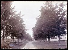 ANTIQUE GLASS NEGATIVE, FC PHILPOT, LIMERICK ME. DRIVE W/MAPLE TREES AND HOUSE