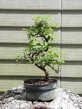 Sweet Plum Bonsai Tree Flowers Great Gift!