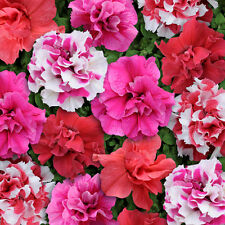 Pack Flower Seeds Double Petunia Bonanza Mixed F1 Kings Quality Seed