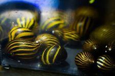 10 x Zebra Nerite snails, Fresh Water Snail