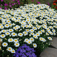 3 Super healthy Plants Leucanthemum superbum 'Snowcap' Long Bloomer Great Flower