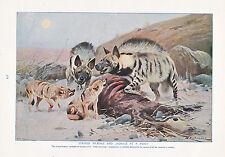 1910 NATURAL HISTORY DOUBLE SIDED PRINT ~ BANDED MUNGOOSE / HYAENAS & JACKALS