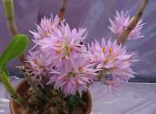 Orchid species Seedling garden plant - Dendrobium bracteosum