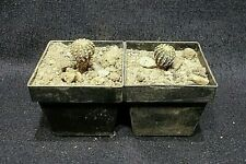 Geohintonia mexicana, Du ca. 1,2 cm