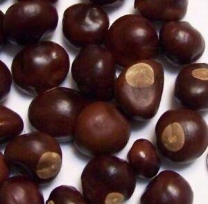 Ohio Buckeye Nuts Buy 1 10 25 50 or 100 Dried 2019-20 Crop OSU Graduation Craft