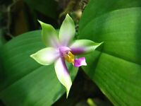 Rare orchid hybrid (bloom size) - Phalaenopsis Violacea