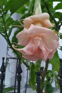 Engelstrompete Brugmansia Dahlens pink anamour  Pflanze 33 cm