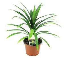 Schraubenbaum, Pandanus Pflanze (Pandanus latifolius)aus Nachhaltigem Anbau!