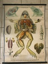 Original vintage zoological pull down school chart anatomy of Frog