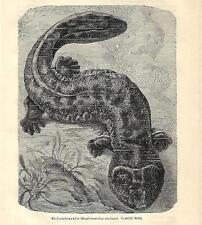 Stampa antica SALAMANDRA GIGANTE ASIATICA 1891 Old antique print