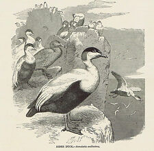 EIDER DUCK - Somateria mollissima - 1885 Natural History Page