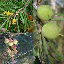 NARROW-LEAVED GEEBUNG (Persoonia linearis) SEEDS 'Bush Tucker Plant'
