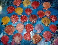 TWENTY FIVE  (25) NOBILIS PECTEN  SINGLE SEA SHELLS  BEACH NAUTICAL DECOR CRAFT
