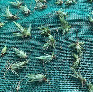 Air Plant, Bromeliad, Tillandsia Ehlersiana (1cm Seedling) RARE