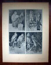 LE FAUCON par Mathurin MEHEUT planche tirage original ETUDES D'ANIMAUX 1911