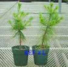 "Smokey Mountain Grown(3)WHITE PINE TREES 20""- 24inch STARTER SEEDLINGS Ref#STX."