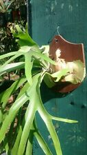 Platycerium Willinckii - The Javan elkhorn / staghorn.