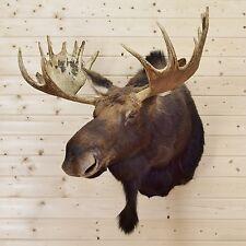 Moose Taxidermy Shoulder Mounts for sale | eBay