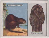 Muskrat Its Fur Pelt Trapping Hunting Musquash c90 Y/O Ad Trade Card