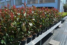 PIANTA ADULTA FOTINIA PHOTINIA x FRASERI RED ROBIN  CESPUGLIO ALTEZ. 90-110 CM.