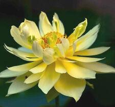 5 LIGHT YELLOW LOTUS SEEDS  - Nelumbo Nucifera